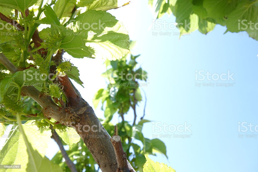 Mulberry and blue sky royalty-free stock photo