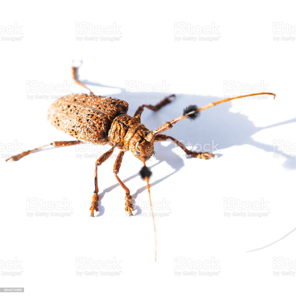 Mulberry borer long horn beetle stock photo