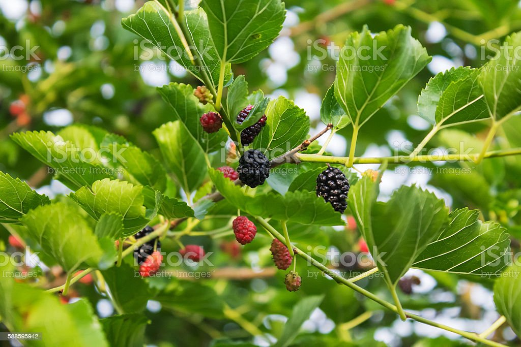 Mulberry branch with fruits and leaves stock photo