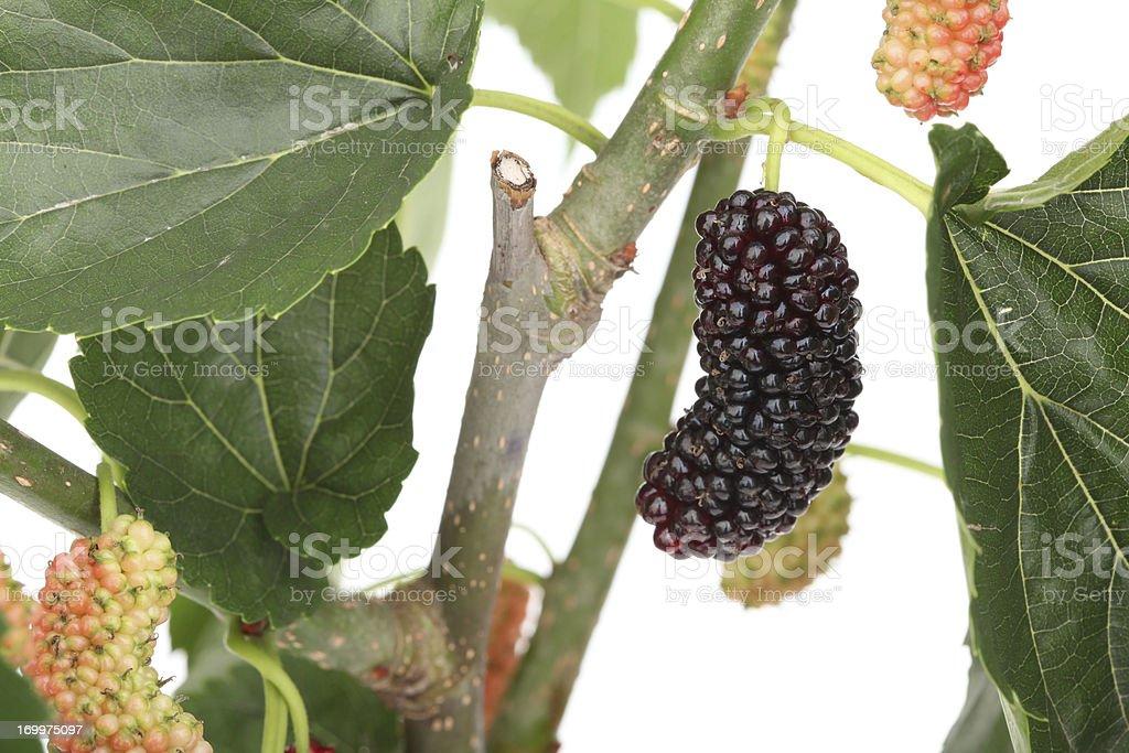 Mulberry fruit on tree stock photo