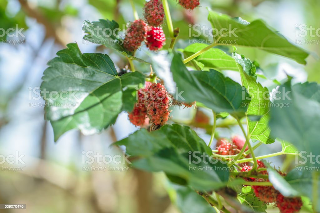 Mulberry fruit on tree stock photo
