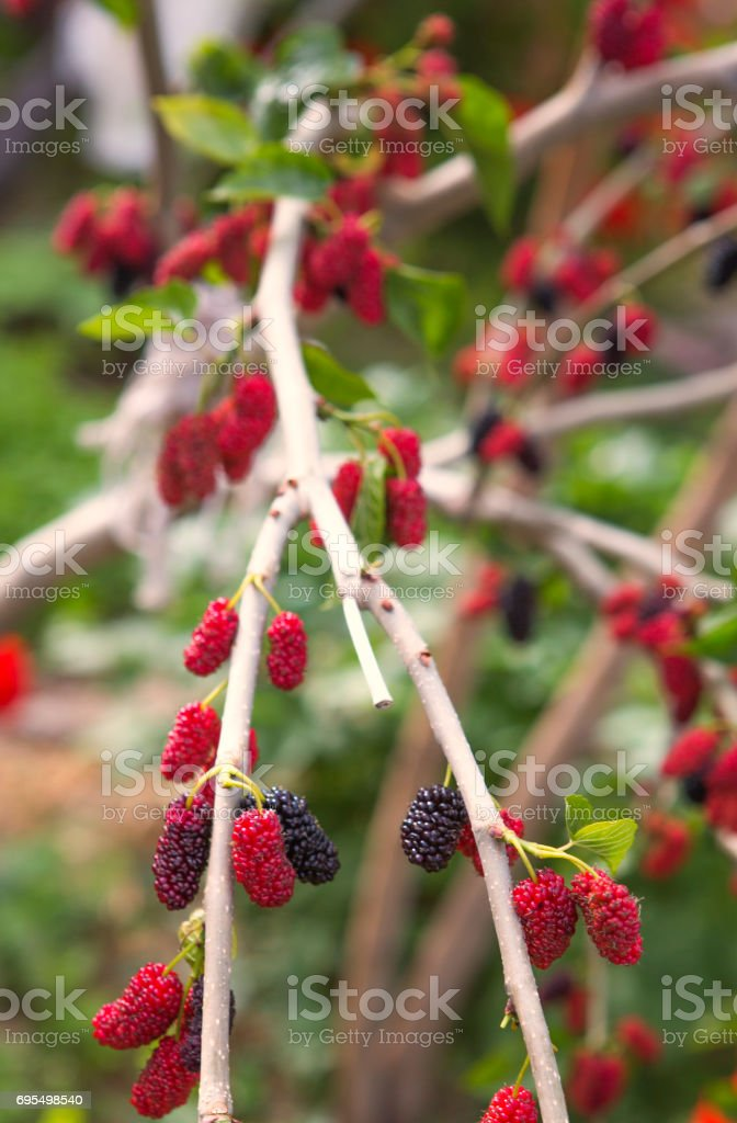 mulberry fruit tree near fethiye mugla turkey stock photo