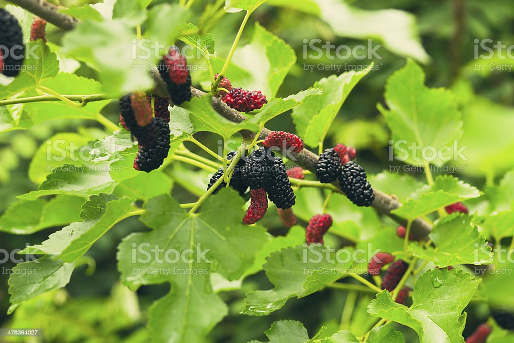 mulberry in the nature stock photo