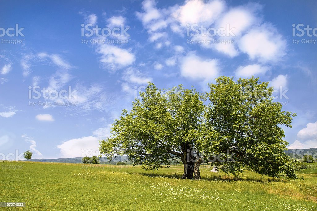 Mulberry tree in green field stock photo