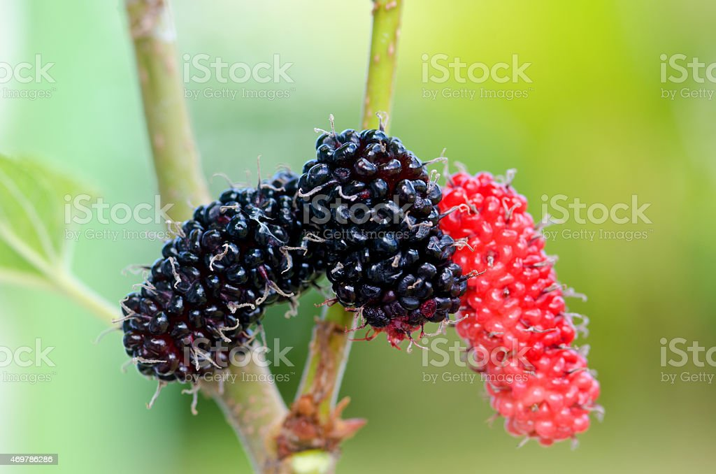 Mulberry tree stock photo