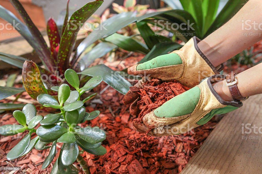 Mulching the garden with red cedar woodchip stock photo