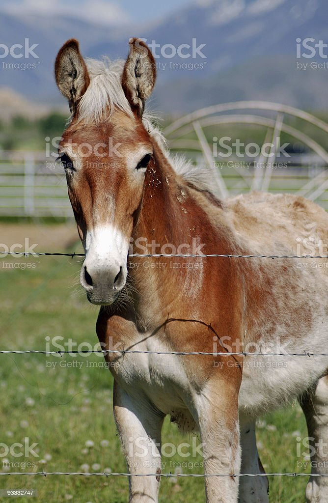 Mule at Fence royalty-free stock photo