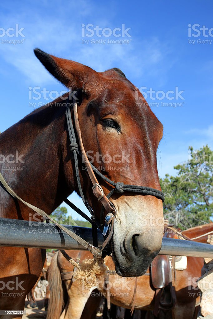 Mule at the Grand Canyon National Park royalty-free stock photo