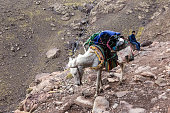 Mule carry baggage on a mountain slope