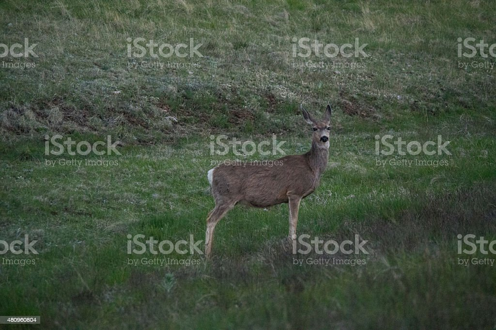 Mule Deer at Grand Canyon royalty-free stock photo