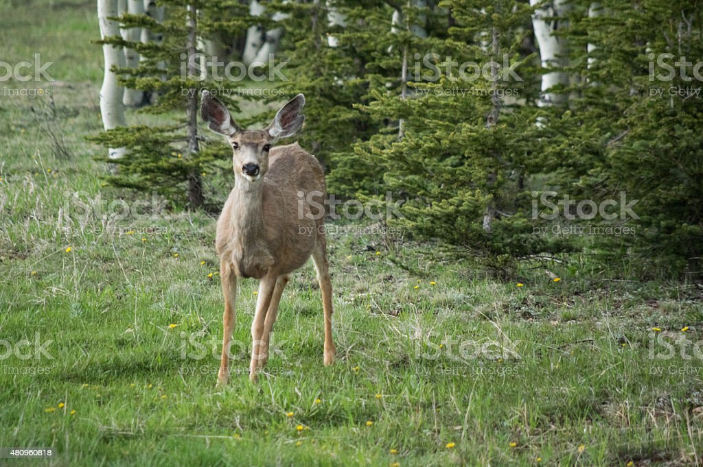 Mule Deer at Grand Canyon royalty-free stock photo