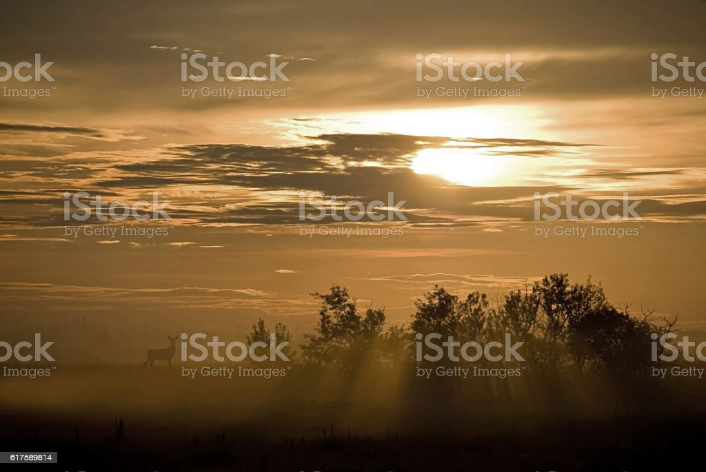Mule Deer at sunrise with mist and fog over field stock photo