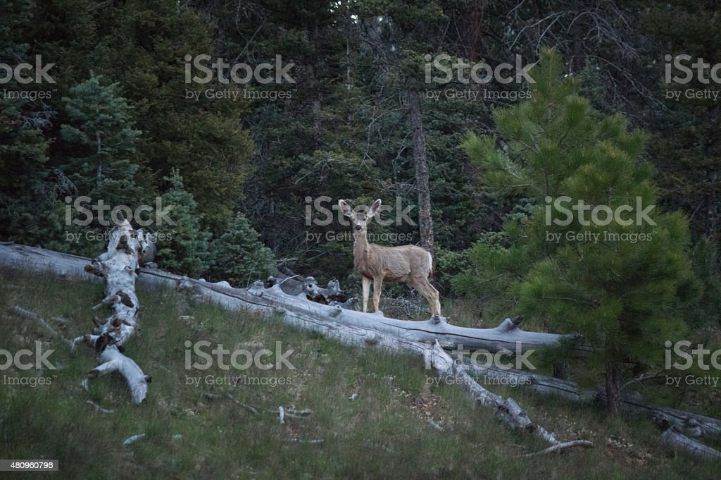 Mule Deer behind fallen logs at Grand Canyon royalty-free stock photo