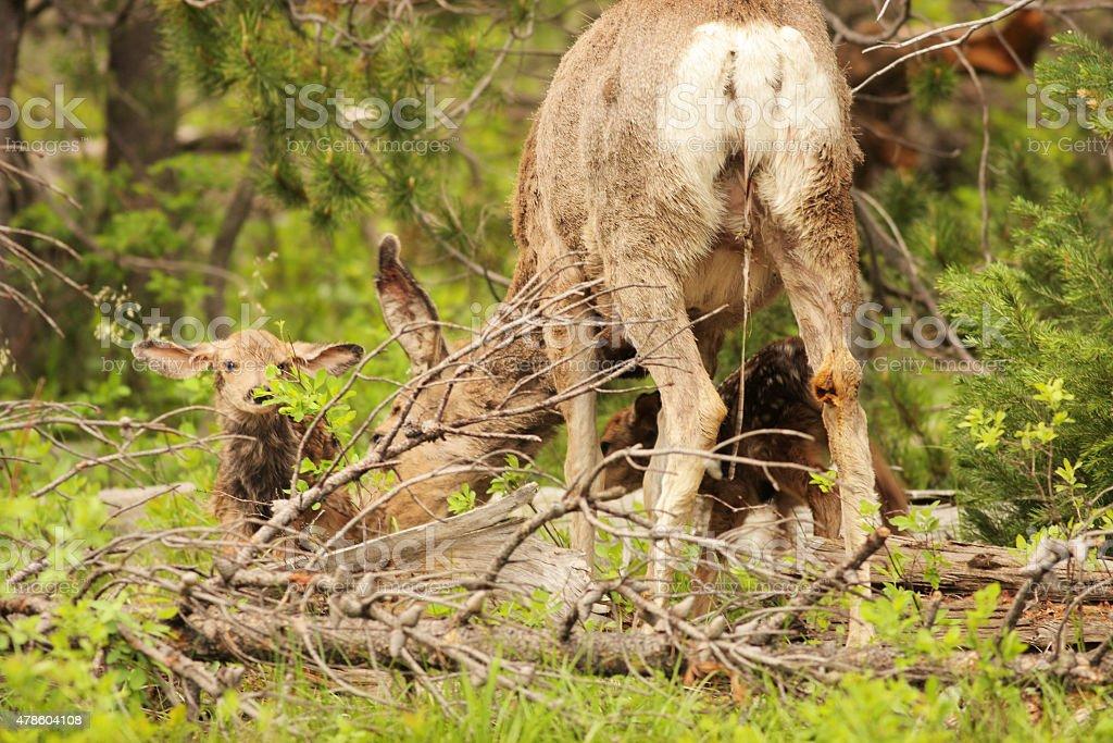 Mule Deer Birth Twin Fawns Odocoileus hemionus stock photo