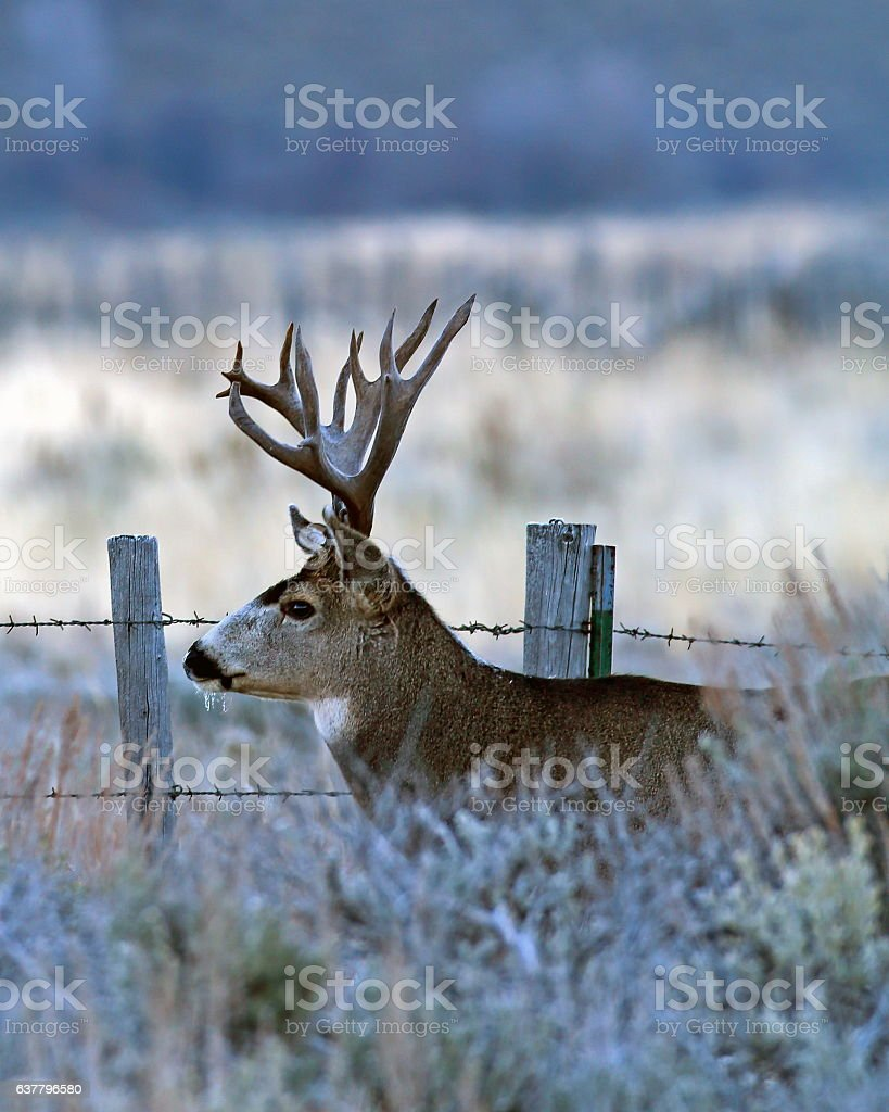 Mule Deer Buck by Fence stock photo