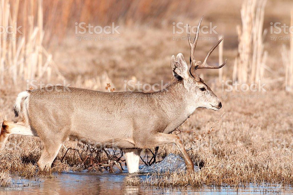 mule deer buck crossing stream stock photo