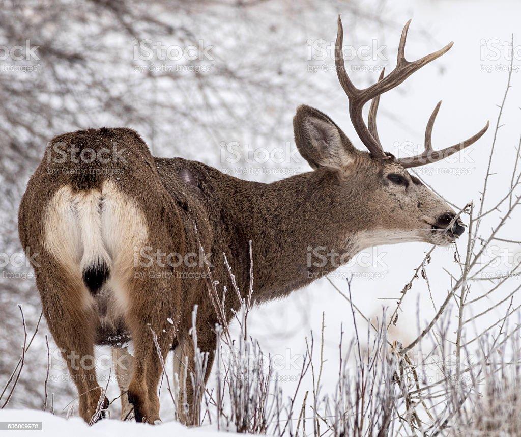 Mule deer buck feeding in winter forest stock photo