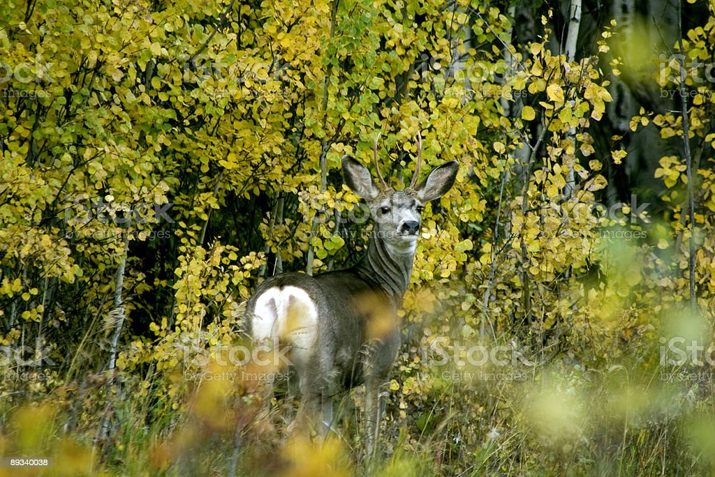 Mule Deer Buck in Boreal Forest royalty-free stock photo
