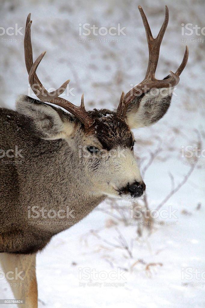 Mule Deer buck (stag) in Colorado winter snow stock photo