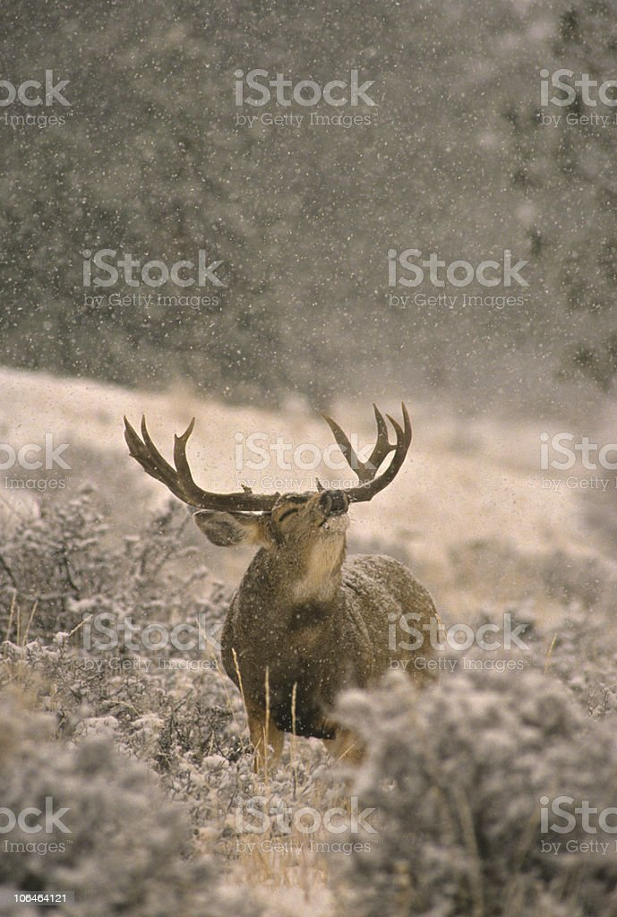 Mule Deer Buck in Rut stock photo