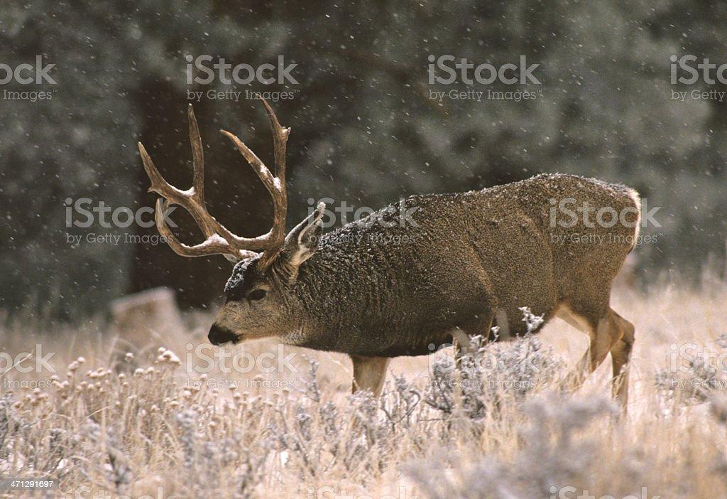 Mule Deer Buck in Snow royalty-free stock photo