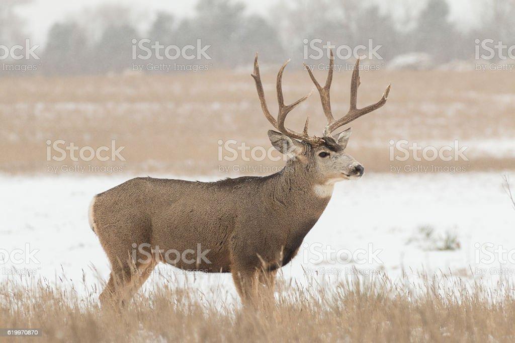Mule Deer Buck in snow stock photo