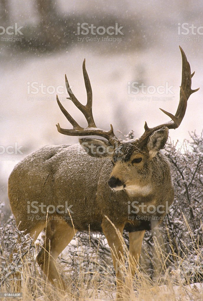 Mule Deer Buck in Snowstorm stock photo