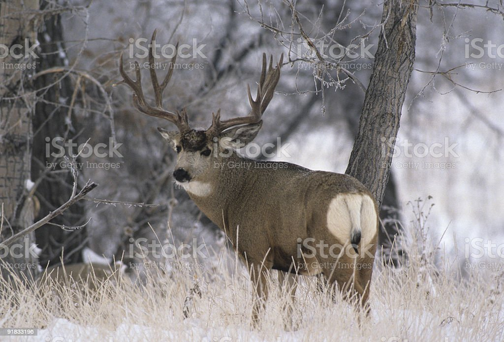 Mule Deer Buck in Thick Frost stock photo
