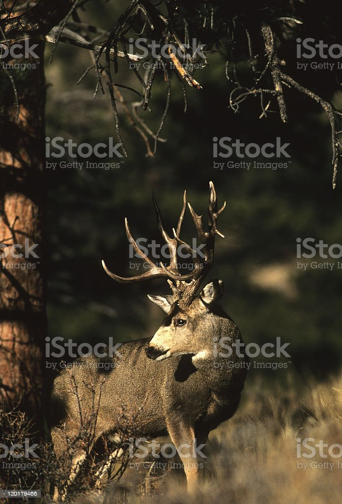 Mule Deer Buck in Trees stock photo