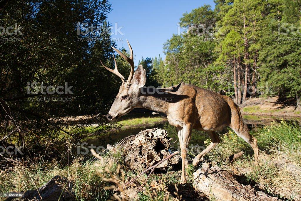 Mule deer buck in Yosemite Valley. stock photo