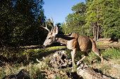 Mule deer buck in Yosemite Valley.
