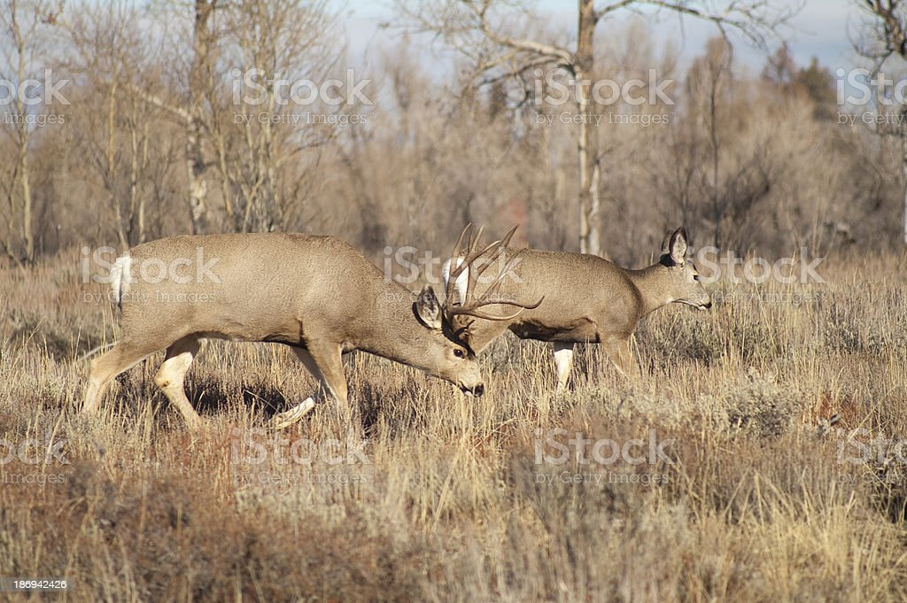 Mule Deer Buck Leading His Female Family Winter Grassland Wildlife stock photo