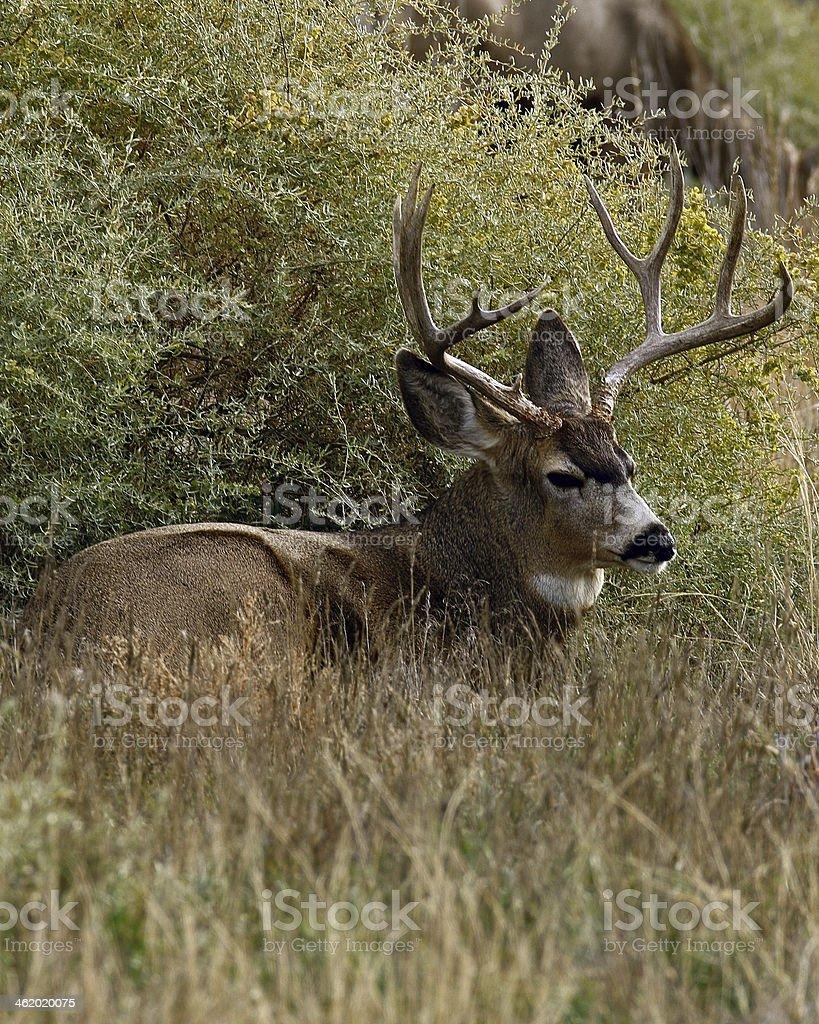 Mule Deer Buck Lying Down royalty-free stock photo