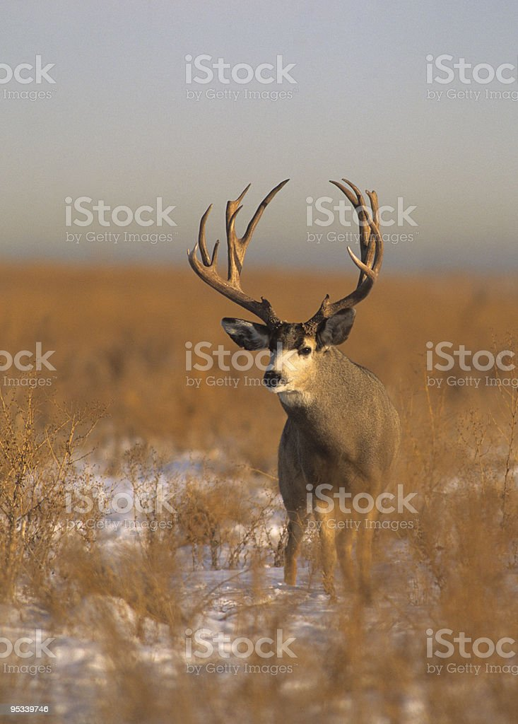Mule Deer Buck on the Prairie stock photo