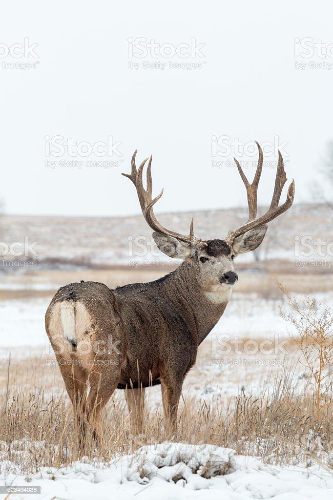 Mule Deer Buck stock photo