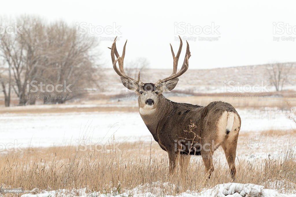 Mule Deer Buck stock photo