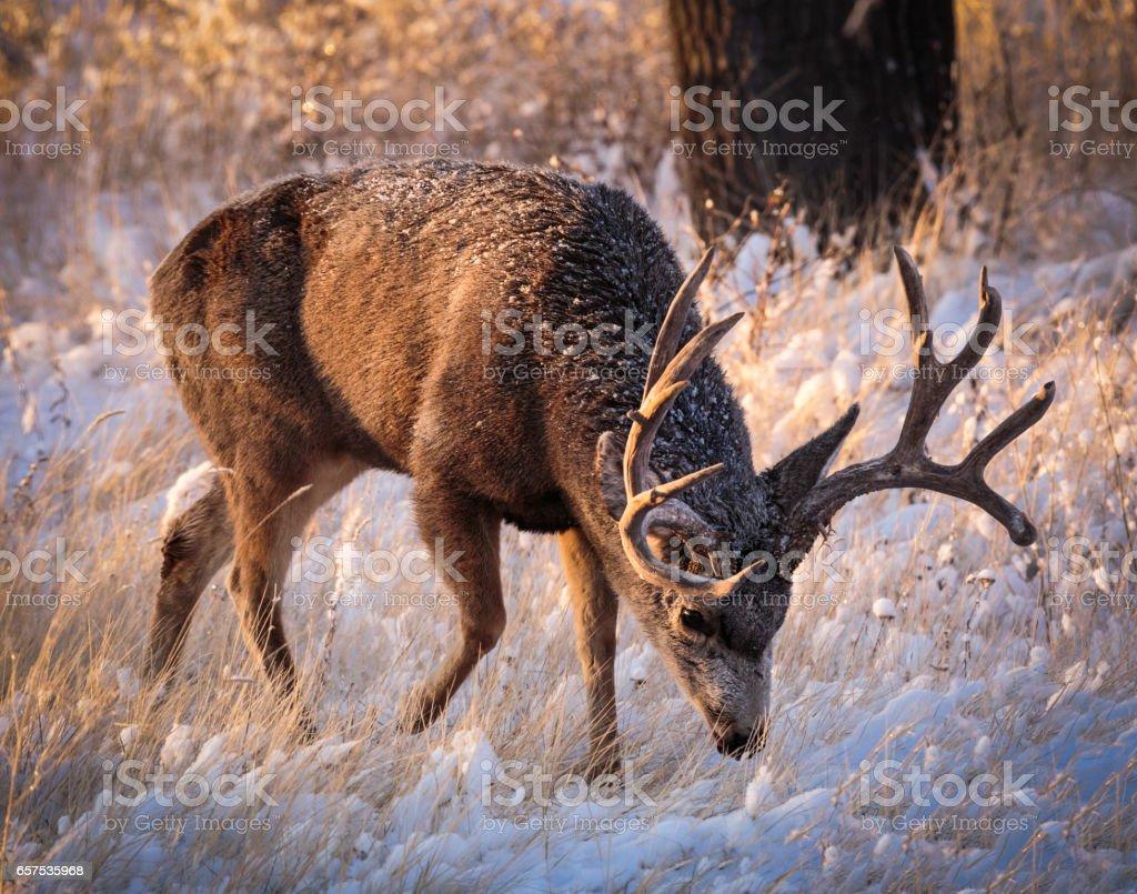 Mule Deer Buck Scratching for Breakfast stock photo