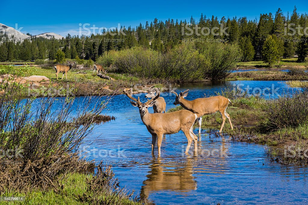 Mule deer buck wading through Tuolumne Meadows stock photo