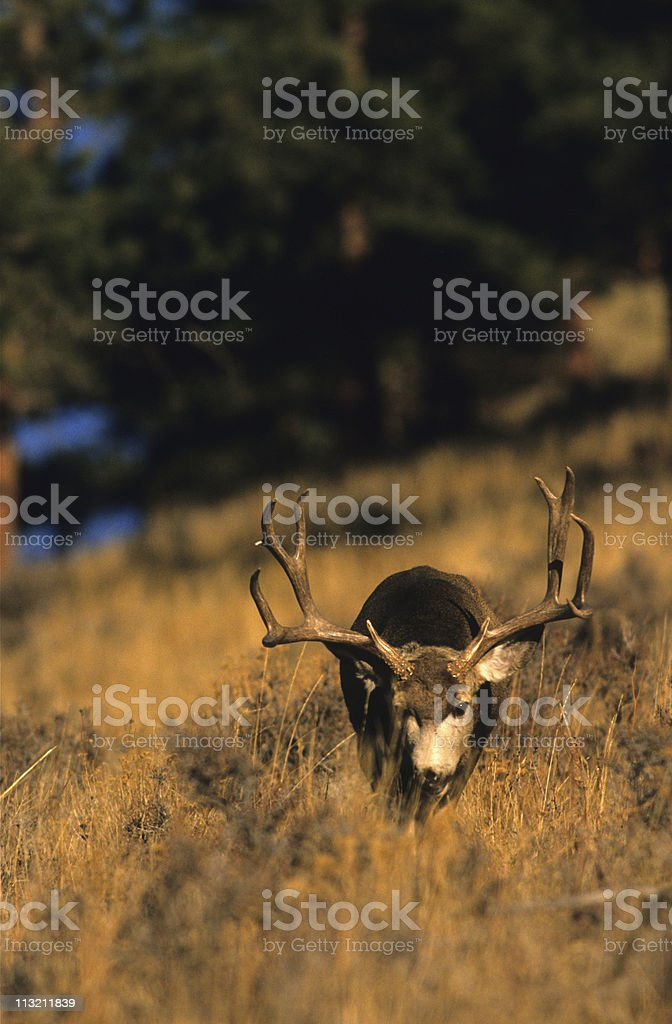 Mule Deer Buck Walking Straight On stock photo
