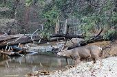 Mule deer buck walking toward river