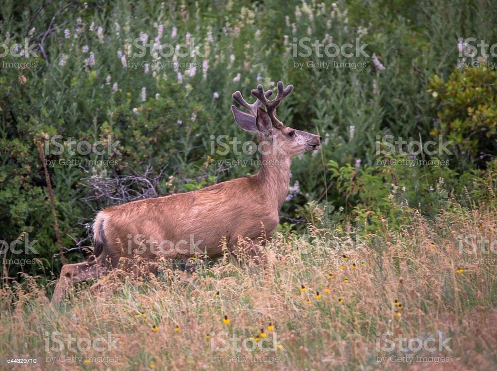 mule deer buck with velvet antlers stock photo