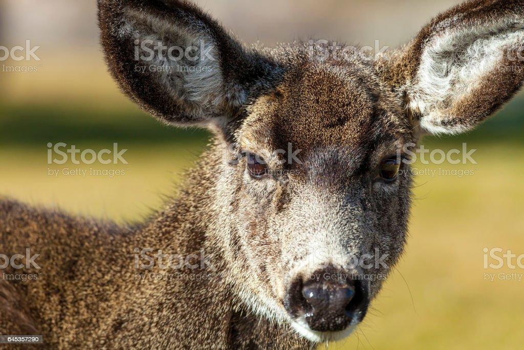 Mule Deer Close up stock photo