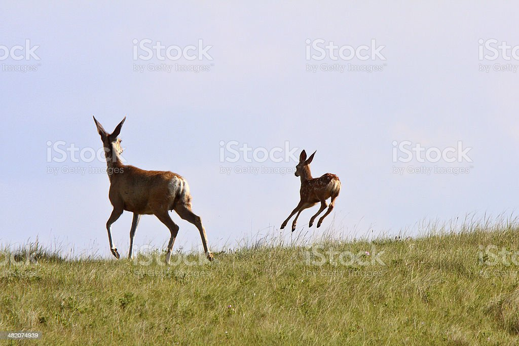 Mule Deer doe and fawn in Saskatchewan stock photo