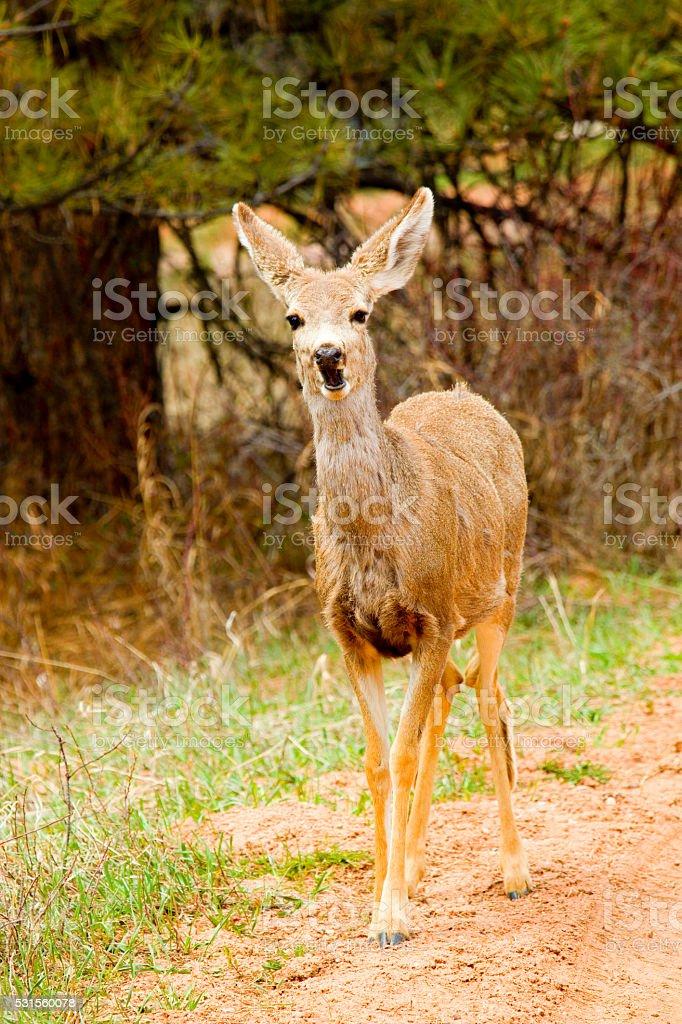 Mule Deer Doe in the Colorado Springtime stock photo