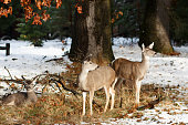 Mule deer does and fawn in the snow