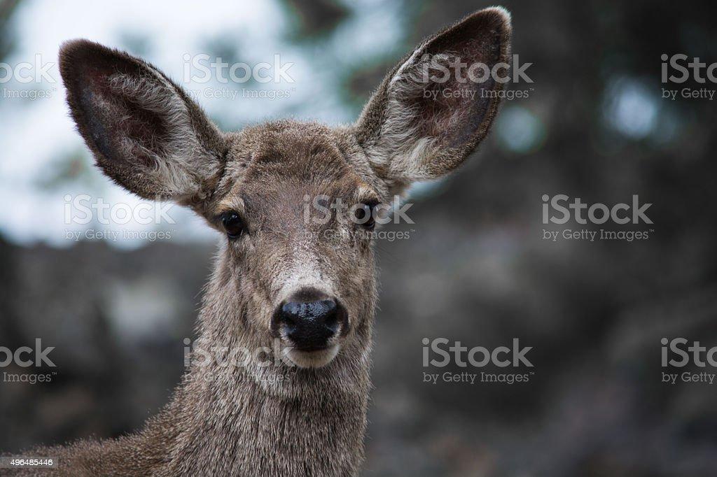 Mule deer face stock photo