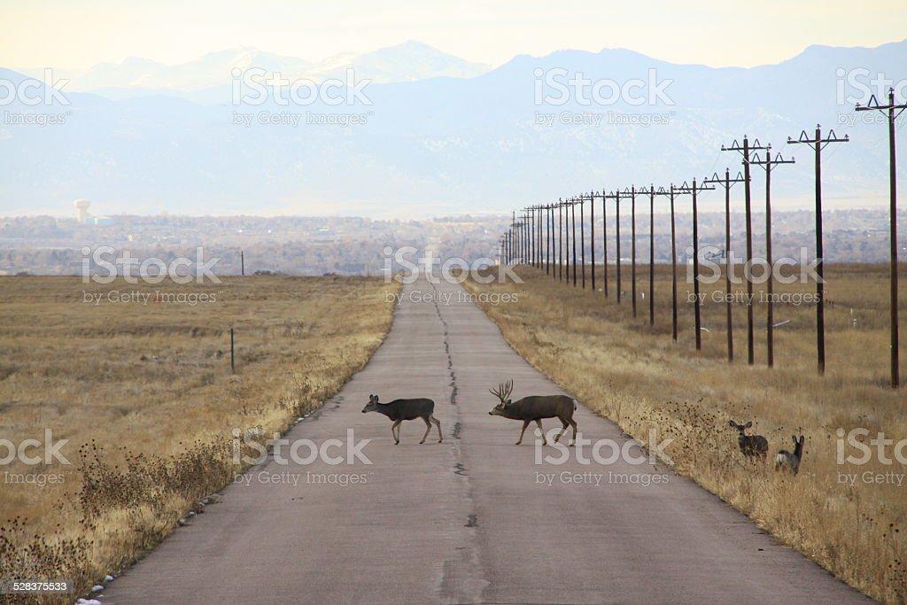 Mule deer family in Rocky Mountain Arsenal National Wildlife Refuge stock photo