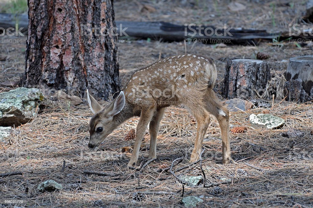 Mule deer fawn exploring the world. stock photo
