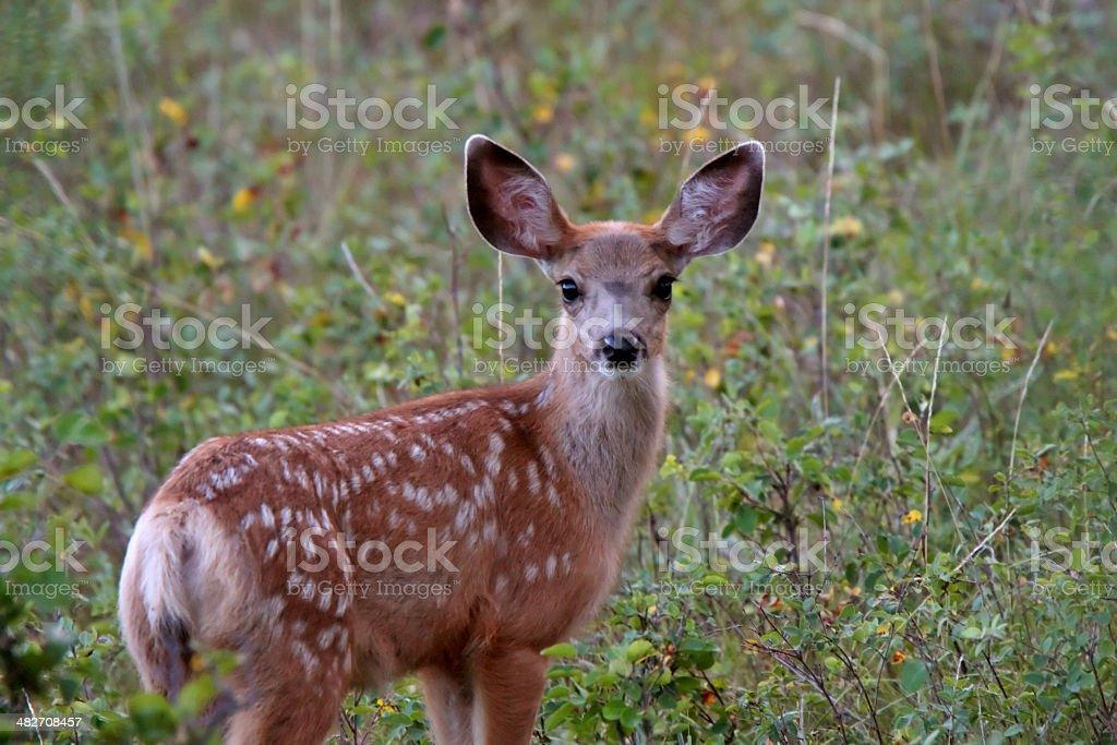 Mule Deer fawn in Saskatchewan field royalty-free stock photo