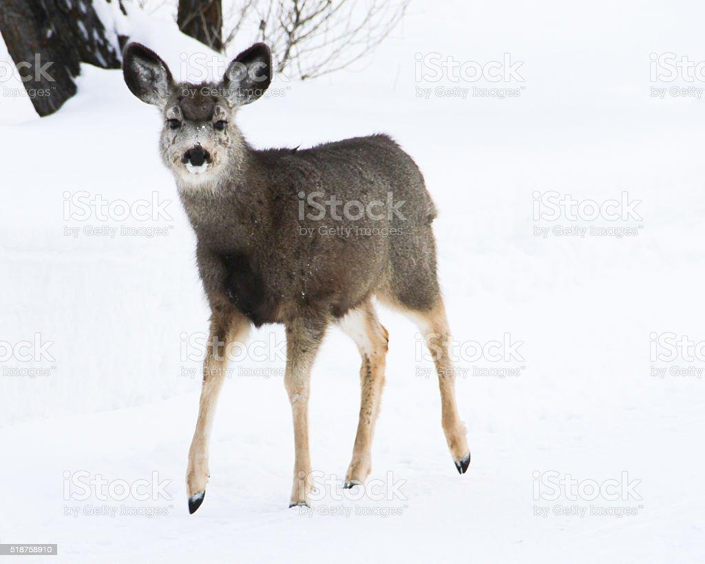 Mule Deer Fawn stock photo